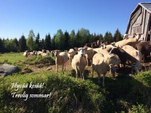 """Lampaita laiduntamassa tekstillä """"Hyvää kesää! Trevlig sommar!""""."""