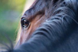 Lähikuva hevosen silmästä ja niskaharjasta